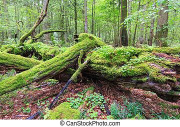 Dead oak lying moss wrapped