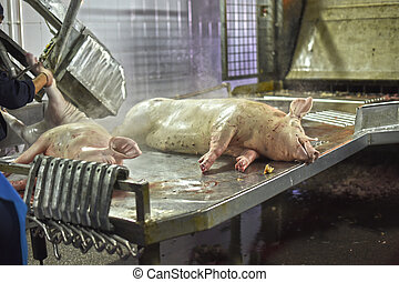 dead pig carcasses in meat production