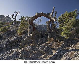 Dead pine.