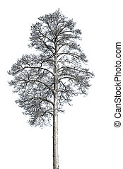 Dead pine tree isolated with white background