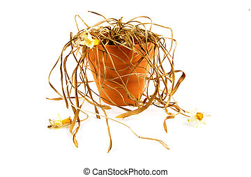 Dead plant in a pot onwhite