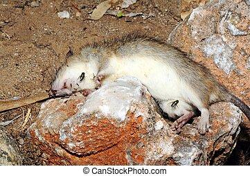 Dead rat on a rock.