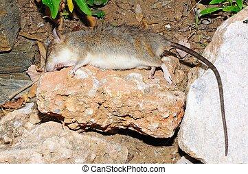 Dead rat on a rock, Spain.
