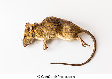 Dead rat.  - Dead rat isolated on the white background.