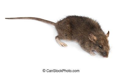 dead rat - a dead rat isolated. Close up