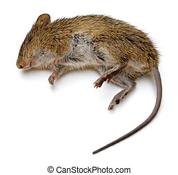 Dead Rat - Dead rat isolated on a white background.