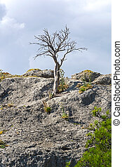 Dead relic pine on top of the rock.