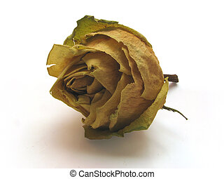 dead roses 03 - single dry dead rose