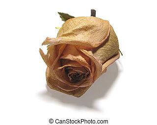 dead roses 05 - single dry rose