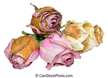 Dead Roses Isolated On White - A group of pink and white...