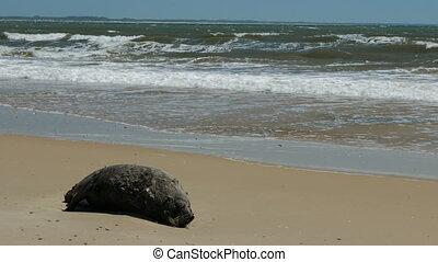 Dead sea lion decomposing on a beach in Uruguay
