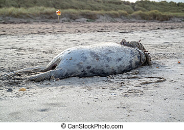 Dead seal carcass washed up at Narin Beach in Portnoo - County Donegal, Ireland.