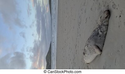 Dead seal on the beach in County Donegal - Ireland.