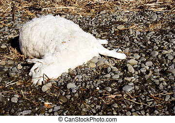 A dead sheep lies on the riverbed where it has been washed up.