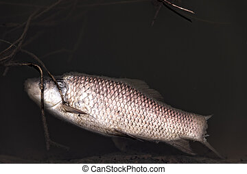 Dead Silver carp - Dead Chinese carp (White amur, ...