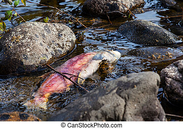 Dead Spawned Pacific Sockeye Salmon in Adams River