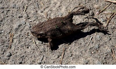 Dead toad on the road - Dead toad on the side of the road,...