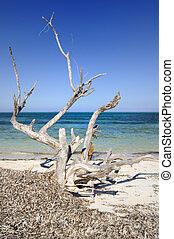 Dead tree by the ocean