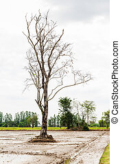 Dead tree in paddy fields,countryside of Thailand