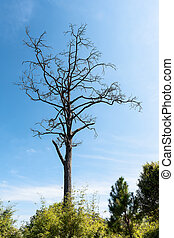 Dead tree in the forest. - Dead tree with blue sky...