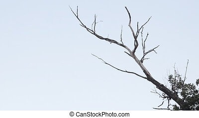 Dead tree isolated on white background - Loop video of forest with silhouette of dark branches on light skies.
