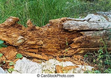 Dead tree, rotten .