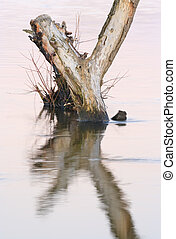 Dead tree standing in water - Dead tree protruded over water...