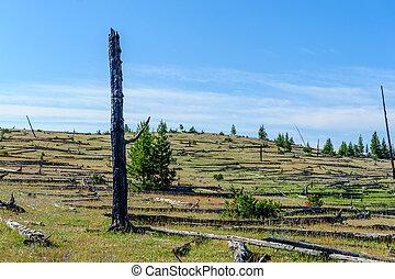 Dead Trees in the Norris Geyser Basin