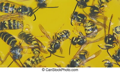 Dead wasps in a yellow circle close-up. Wasps drowned in...