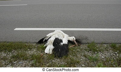 dead white stork on the freeway