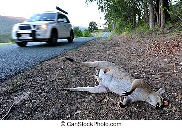Dead Wild Kangaroo in Queensland Australia - GOLD COAST -...