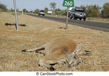 Dead wildlife traffic accident - Dead kangaroo victim of...