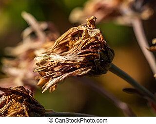 Dead winter zinnias 2