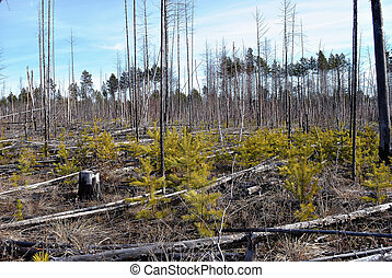 Dead wood after fire