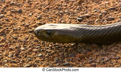 Deadly inland taipan snake - The head of a deadly inland...