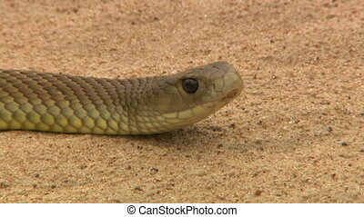 Deadly inland taipan snake's wary head - Close up of a...