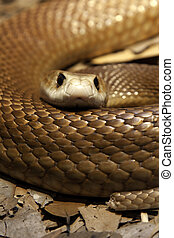 Death stare - Close up of a Taipan's head and body looking ...