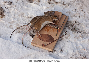 death - Two mice which have died in a mousetrap