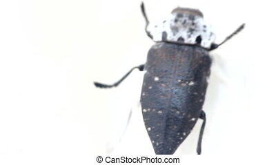 Deathwatch beetle. Huge beetle moving on white background -...