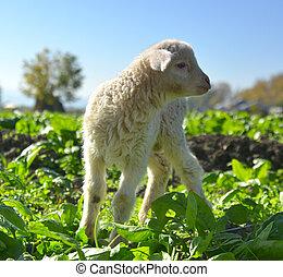 debout, agneau, jours, suffolk, peu, blanc, herbe, vieux