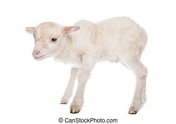 debout, agneau