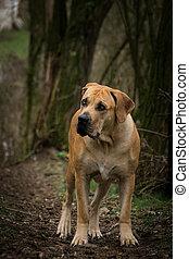 debout, chien, mysterius, atmosphère, forêt, boerboel, portrait