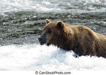 debout, eau, grisonnant, grand, ours