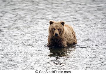 debout, eau, grizzly