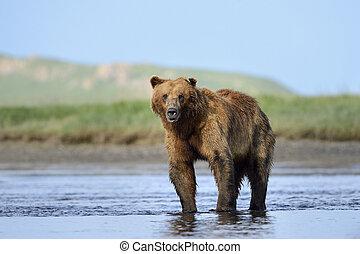 debout, grisonnant, rivière, ours