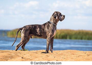 debout, mastiff, chien, noir, plage