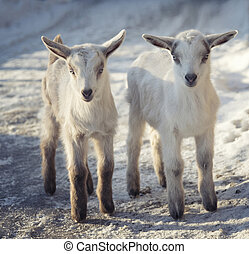 debout, mignon, peu, deux, neige, chèvres