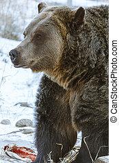 debout, nourriture, grisonnant, sur, ours