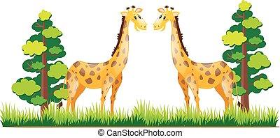 debout, parc, deux, girafes