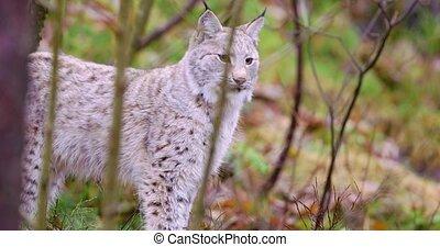 debout, playfull, jeune, chat, forêt, lynx